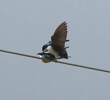 Mr. Tree Swallow is Wired for Love by Chuck Gardner