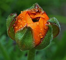 An orange bud by Dipali S