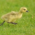 Running Gosling (Leg it!!  Flap wings!!) by Richard Heeks