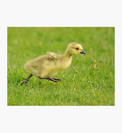 Running Gosling (Leg it!!  Flap wings!!) Photographic Print