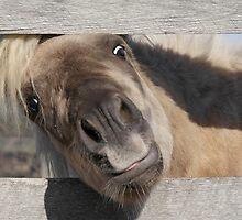 Short Pony, Tall Fence by irolita