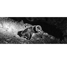 Fairy penguin landing Photographic Print