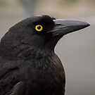 Currawong by Jan Pudney