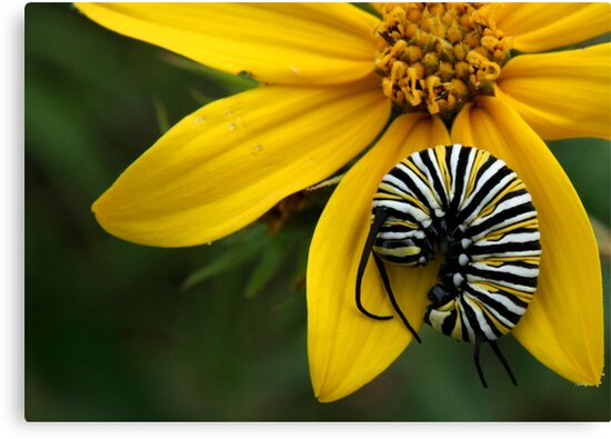 Caterpillar Nap by Lori Deiter