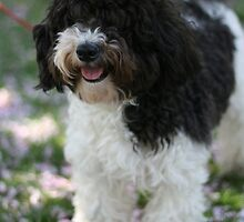 Cute Havanese