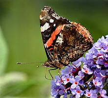 Red Admiral Feeding by Geoff Carpenter