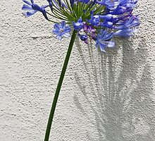 Agapanthus also known as Lilies of the Nile by Gerda Grice