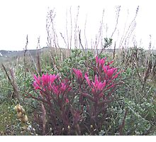 indian paint brush #1 Photographic Print