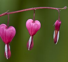 My Bleeding heart by Steve plowman