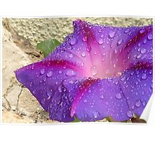 Purple Ipomoea With Raindrops and Stone Background Poster