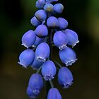 Grape hyacinth by Paul Kavsak