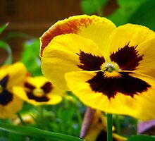 Posing Pansy by DottieDees