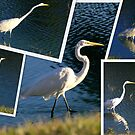 Erget or Heron ?.... It is the Great White Egret.... by Larry Llewellyn