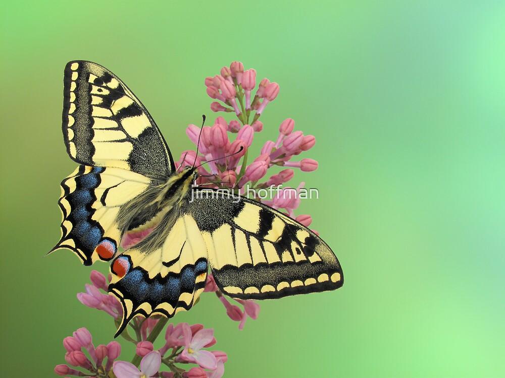 Swallowtail by jimmy hoffman