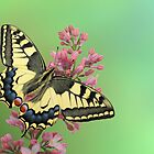 Swallowtail by jimmy hoffman