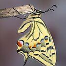 Swallowtail 2 by jimmy hoffman