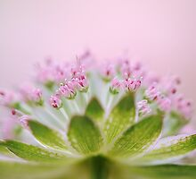 Astrantia Alure by Jacky Parker