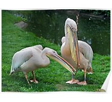 Domestic Bliss (Eastern White Pelicans) Poster