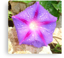 Star Shaped Morning Glory With Glistening Water  Canvas Print