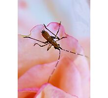 The Rose Bug Photographic Print
