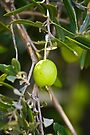 Olive Tree Branch with Fresh Olive by RatManDude