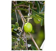 Olive Tree Branch with Fresh Olive Poster