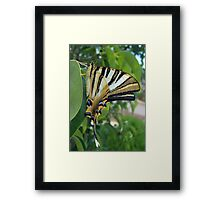 Swallowtail With Partially Closed Wings Side View Framed Print