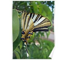Swallowtail With Partially Closed Wings Side View Poster