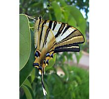 Swallowtail With Partially Closed Wings Side View Photographic Print