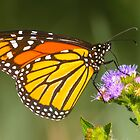 Monarch Butterfly by Teale Britstra