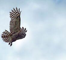 Barred Owl in Flight II by Bonnie T.  Barry