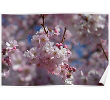 Blooming cherry tree in Spring Poster