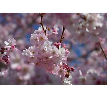 Blooming cherry tree in Spring Photographic Print