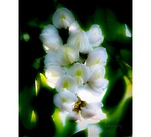 White Acacia Blossoms Photographic Print