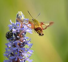 Clear Wing Hummingbird Moth by gregsmith