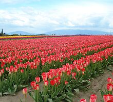 Clouds and Tulips by Dorthy Ottaway