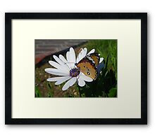 White Daisy and Butterfly Framed Print