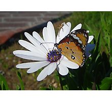 White Daisy and Butterfly Photographic Print