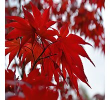 Japanese Maple Tree Photographic Print