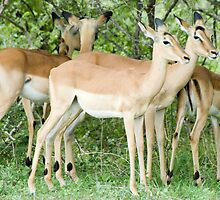 Impala Pair by Vickie Burt