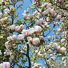 Magnolia Profusion by AnnDixon