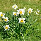 Host of Daffodils by AnnDixon