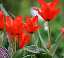 Red Tulips by rumisw