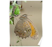 Meadow Brown Butterfly Feeding On Aphids Poster