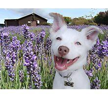 Eddie at the lavender farm Photographic Print