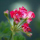 Geranium by lightphotos