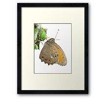 Meadow Brown Butterfly Feeding On Aphids Framed Print
