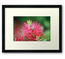 Bee on a grevillea Framed Print