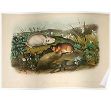 James Audubon - Quadrupeds of North America V3 1851-1854  Hudson's Bay Lemming Poster