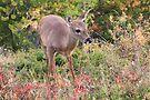 Curious deer by zumi